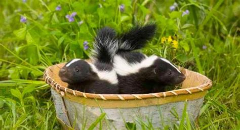 how do you get rid of skunks in your backyard how to get rid of skunks a comparative review of 2
