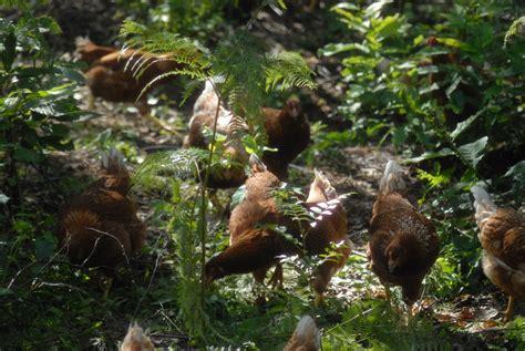 galline da cortile il bosco uovodiselva