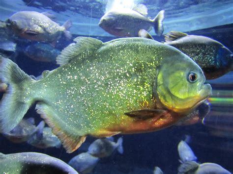 amazon fish into the amazon on emaze