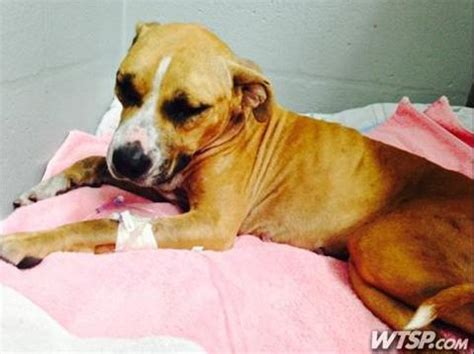 dogs stung by bees rescued stray survives 100 africanized bee stings