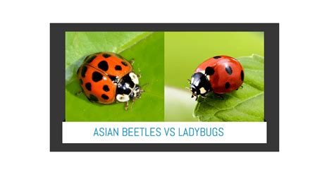 asian lady beetle vs ladybugs easiest way to identify both