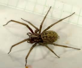 giant house spider giant house spider tegenaria gigantea eratigena atrica bugguide net