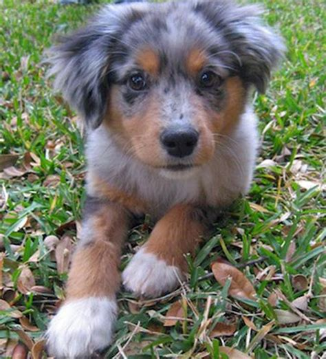 australian shepherd pomeranian mix puppies for sale australian shepherd and pomeranian mix puppy breeds picture