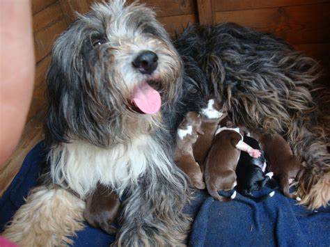 bearded collie puppies for sale bearded collie puppies for sale worcester worcestershire pets4homes
