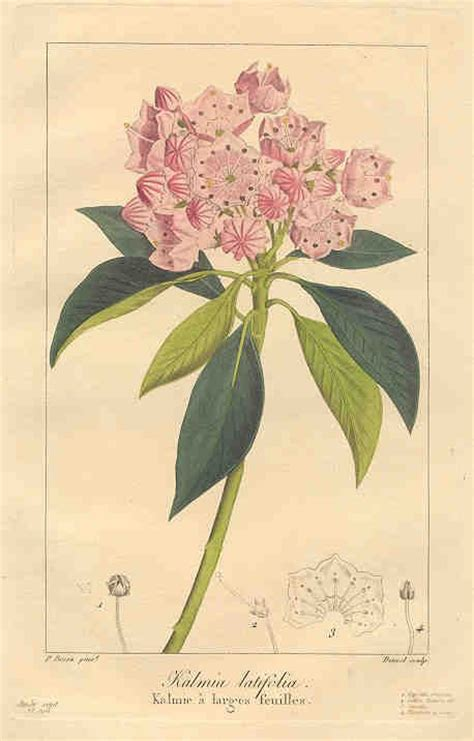 mountain laurel tattoo 24 best mountain laurel images on mountain