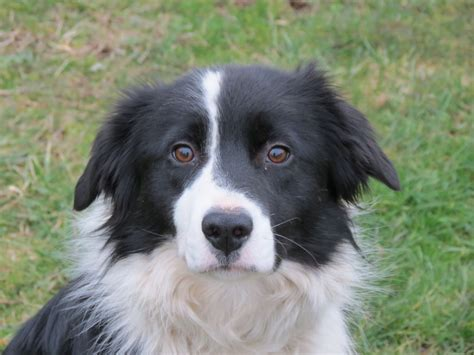 border collie puppies for adoption border collie puppies rescue and adoption near you autos post