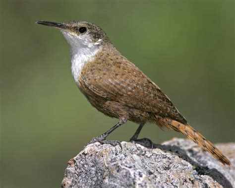canyon wren audubon field guide