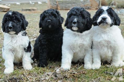 newfoundland poodle puppies newfypoo puppies newfoundland poodle and berdoodles for sale in adrian