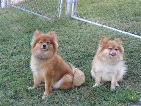 where do pomeranians live 37 best images about pomeranian or spitz throwback on