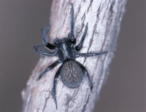 australian house spider australian house spiders