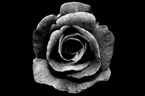 Varying Meanings Of The Black Rose Based On Different Black Roses For