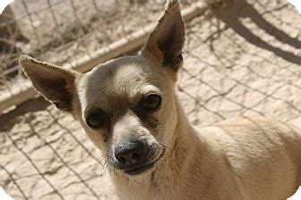 pug rescue las vegas las vegas nv chihuahua pug mix meet a for adoption