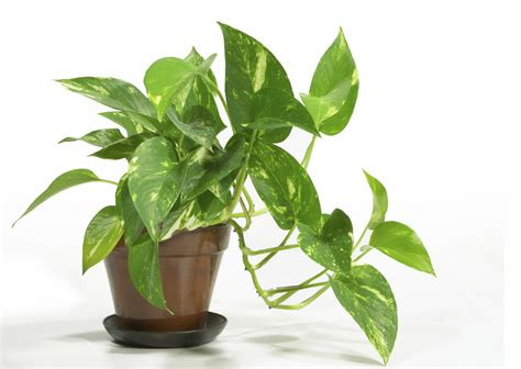 Secret To Healthy Looking House Plants Thifty Sue