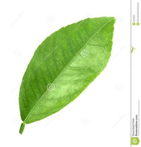imagenes hojas de sen hoja verde del fruta 225 rbol foto de archivo imagen 39426227