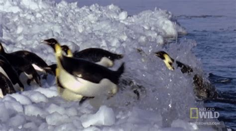 penguins gifs find & share on giphy