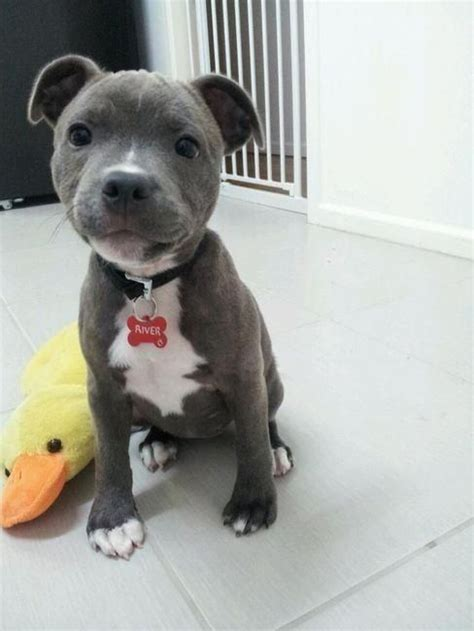 dogs that look like pit bulls dogs that look like pit bulls but arent breeds picture