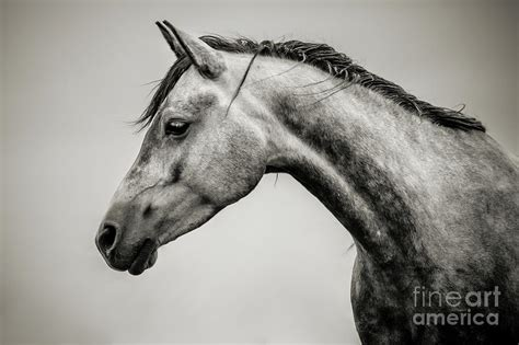 Black And White Horse Head Photograph By Dimitar Hristov