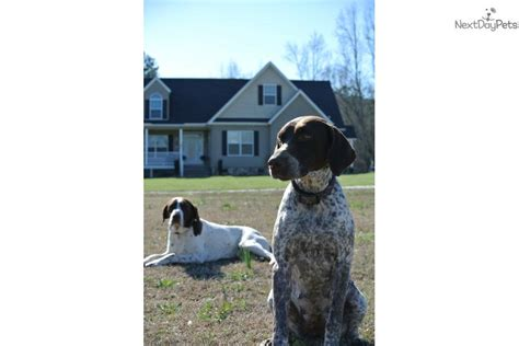 pointer puppies for sale near me german shorthaired pointer for sale for 600 near carolina e1e7c6e1