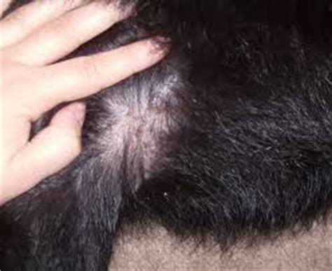 Types Of Bugs Found In Hair by Brow Mites Bugs In Human Hair