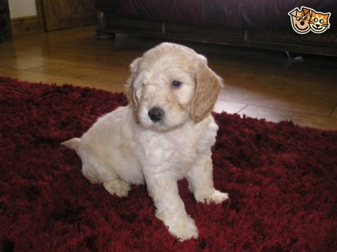 uk only pets for sale dogs for sale free puppies cockapoo f1 puppies for sale sheffield south yorkshire