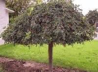 les arbres d 233 coratifs