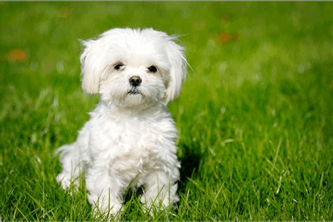 No Shedding Breeds by The Hypoallergenic Breeds