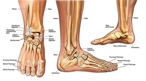 interno caviglia caviglia anatomia e biomeccanica la scienza in palestra