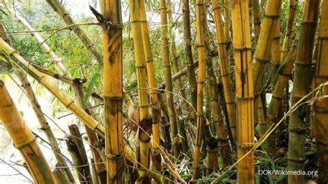 Lu Gantung Dari Bambu rimbun laba budidaya tanaman bambu kuning 1