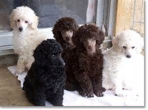 poodle colors bar king miniature poodle puppies colors