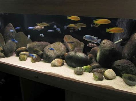 aquascaping african cichlid aquarium 54 best images about malawi on pinterest malawi cichlids
