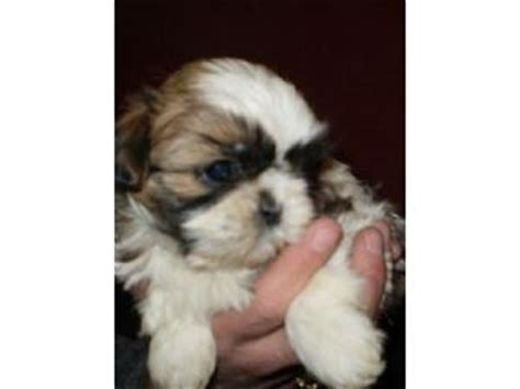 shih tzu puppies for sale in new mexico puppies in new mexico