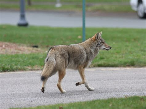 pounds in ct 75 pound killed by coyotes near boston post road updated ct patch