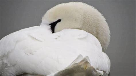 Swan Aq the mute swan