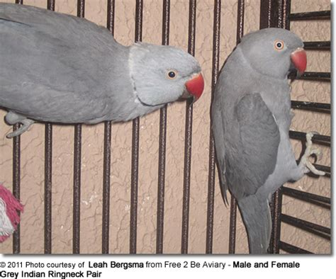captive breeding  ringnecks parrots beauty  birds