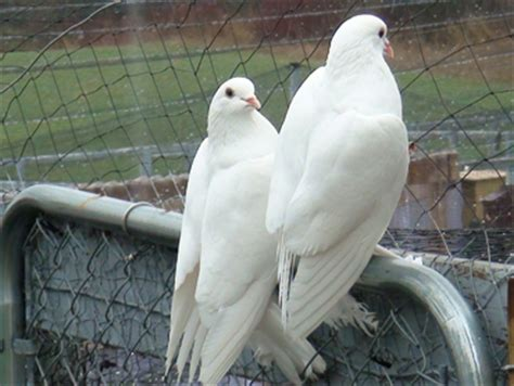 white king pigeons | www.pixshark.com images galleries