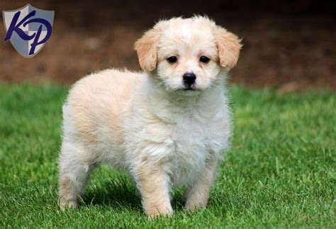 Polly Poodle Mix Puppies For Sale In Pa Keystone Puppies My Look Alike
