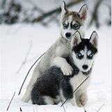 Cute Husky In Snow | 650 x 657 jpeg 55kB