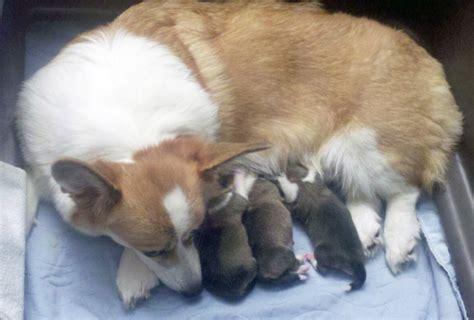 newborn corgi puppies image gallery newborn corgi