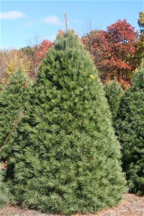 8 varieties of michigan grown christmas trees mlive com