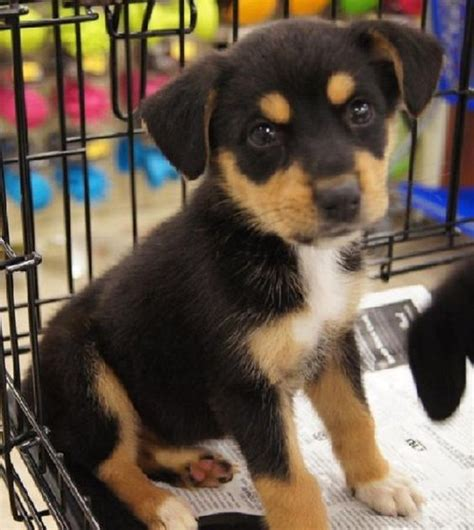 lab beagle mix puppies for sale the world s catalog of ideas