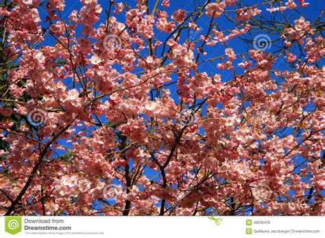 8 cherry tree box hill south cherry tree flowers stock photo image of displays 48536418