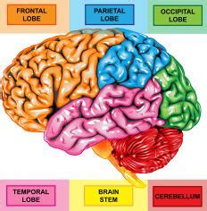 what is the superior temporal sulcus? (with pictures)