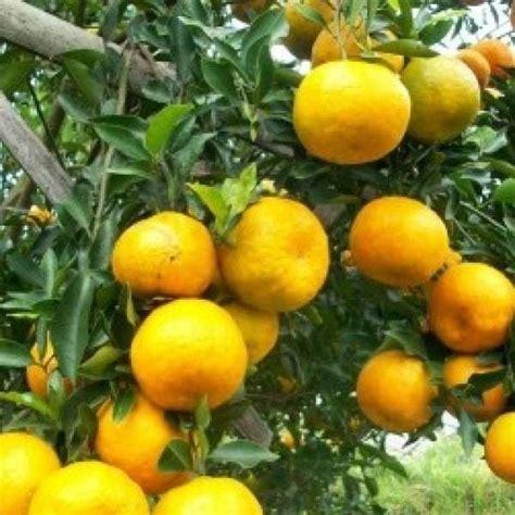 Tanaman Buah Jeruk Keprok Mangse 50cm Murah jual bibit unggul tanaman jeruk keprok mangse bibit