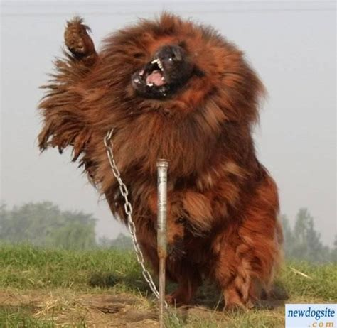 tibetan mastiff puppies world s most expensive 1 6 million for tibetan mastiff