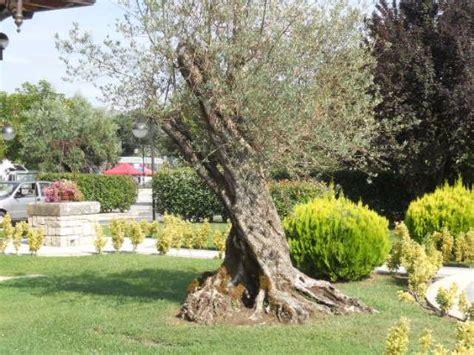giardino con ulivo un ulivo secolare nel giardino foto di villa d