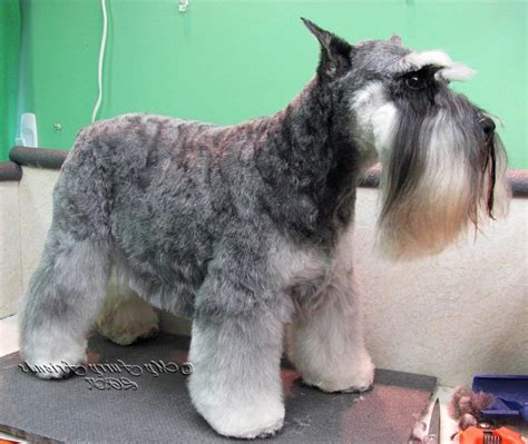 different cuts for schnauzers schnauzer grooming photos