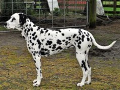 dalmatian puppies for sale tn search locally for dalmatian breeders nearest you freedoglistings page 2