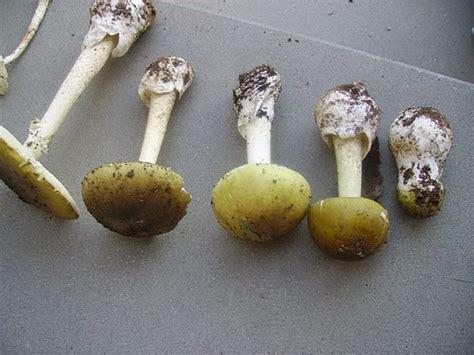 ovuli funghi come cucinarli avvelenamento da funghi cresce l allarme come cucinarli