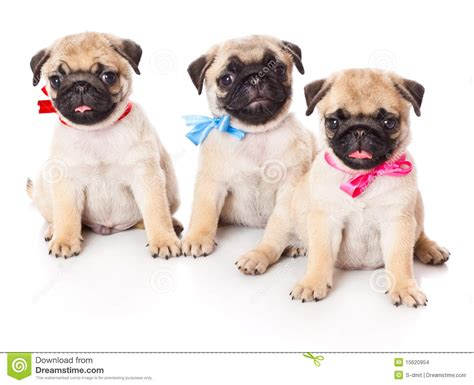 three pugs three puppies of pug stock images image 15620954
