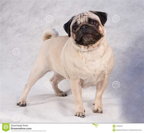 pug royalty pug royalty free stock images image 7845879